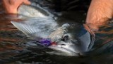 Winter Run by Todd Moen – Pacific Northwest Steelhead Fly Fishing