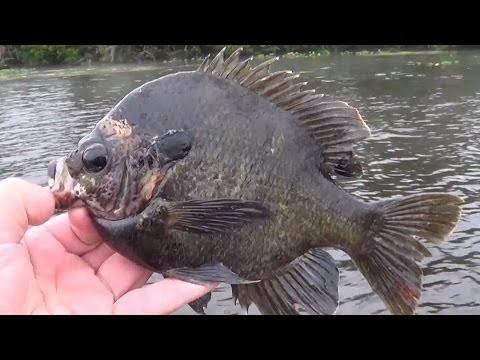 Fly Fishing for Huge Bluegill on the St Johns River, Florida