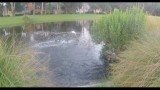 Fly Fishing for Tarpon in Golf Course Pond!