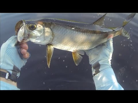 Fly Fishing for Baby Tarpon
