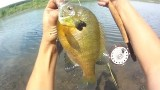 Lure Fishing #109 – Fly Fishing for 64 Spawning Bluegill and Pumpkinseed Sunfish