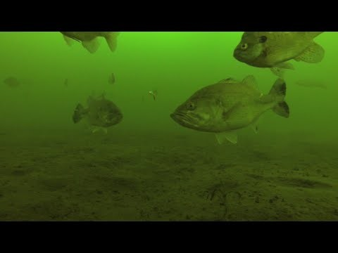 Underwater Video of Big Bass, Panfish & Pike